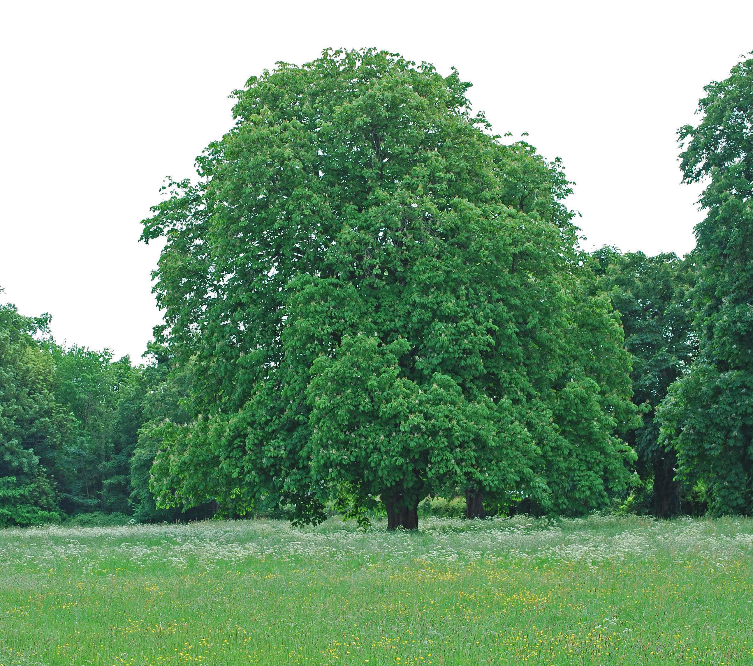 Aesculus hippocastanum the naturephile for The chestnut
