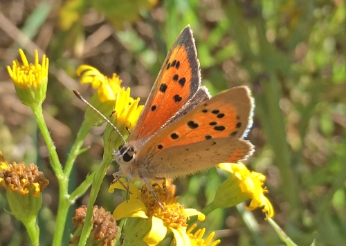 small-copper-wandlebury-roman-road-sep2016-pp
