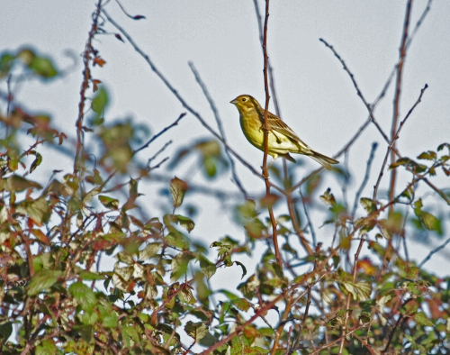 yellowhammer-female-261216-0057