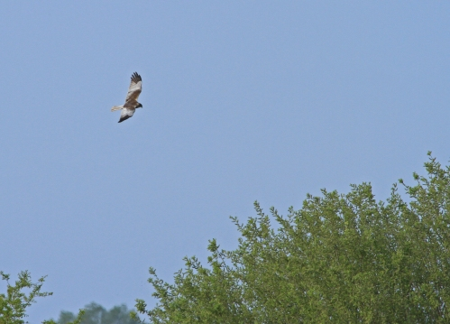 Marsh harrier Ouse Fen 18 Apr 2020_3040